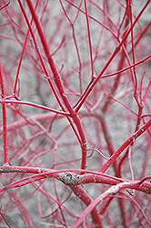 Siberian Dogwood (Cornus alba 'Sibirica') at Creekside Home & Garden