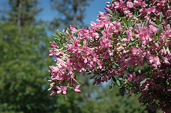 Saltbush (Halimodendron halodendron) at Creekside Home & Garden