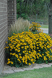 Goldsturm Coneflower (Rudbeckia fulgida 'Goldsturm') at Creekside Home & Garden