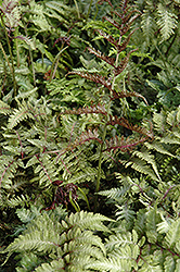 Japanese Painted Fern (Athyrium nipponicum 'Metallicum') at Creekside Home & Garden