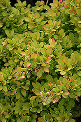 Sunsation Japanese Barberry (Berberis thunbergii 'Sunsation') at Creekside Home & Garden