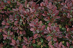 Royal Burgundy Japanese Barberry (Berberis thunbergii 'Gentry') at Creekside Home & Garden