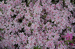 Candy Stripe Moss Phlox (Phlox subulata 'Candy Stripe') at Creekside Home & Garden