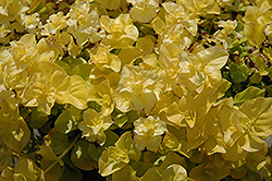 Goldilocks Creeping Jenny (Lysimachia nummularia 'Goldilocks') at Creekside Home & Garden
