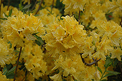 Lemon Lights Azalea (Rhododendron 'Lemon Lights') at Creekside Home & Garden