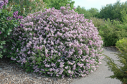 Dwarf Korean Lilac (Syringa meyeri 'Palibin') at Creekside Home & Garden