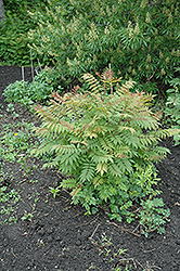 Sem False Spirea (Sorbaria sorbifolia 'Sem') at Creekside Home & Garden