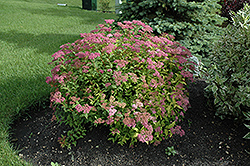 Goldflame Spirea (Spiraea x bumalda 'Goldflame') at Creekside Home & Garden