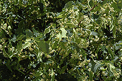 Greenspire Linden (Tilia cordata 'Greenspire') at Creekside Home & Garden