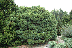 Dwarf Blue Scotch Pine (Pinus sylvestris 'Glauca Nana') at Creekside Home & Garden
