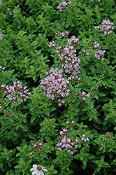 Dwarf Oregano (Origanum vulgare 'Compactum') at Creekside Home & Garden