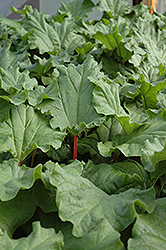 Canada Red Rhubarb (Rheum 'Canada Red') at Creekside Home & Garden