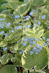 Hadspen Cream Bugloss (Brunnera macrophylla 'Hadspen Cream') at Creekside Home & Garden