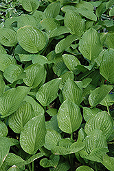 Royal Standard Hosta (Hosta 'Royal Standard') at Creekside Home & Garden