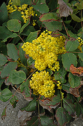 Creeping Mahonia (Mahonia repens) at Creekside Home & Garden