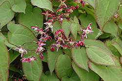 Bishop's Hat (Epimedium x rubrum) at Creekside Home & Garden