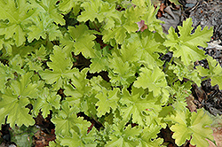 Key Lime Pie Coral Bells (Heuchera 'Key Lime Pie') at Creekside Home & Garden