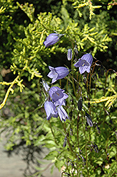 Bavaria Blue Creeping Bellflower (Campanula cochleariifolia 'Bavaria Blue') at Creekside Home & Garden