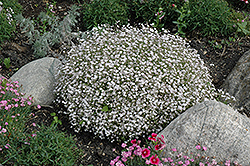 Creeping Baby's Breath (Gypsophila repens) at Creekside Home & Garden