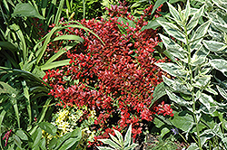 Cherry Bomb Japanese Barberry (Berberis thunbergii 'Monomb') at Creekside Home & Garden