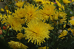 Suncatcher Chrysanthemum (Chrysanthemum 'Suncatcher') at Creekside Home & Garden