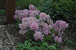 Orchid Lights Azalea (Rhododendron 'Orchid Lights') at Creekside Home & Garden