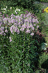 Obedient Plant (Physostegia virginiana) at Creekside Home & Garden