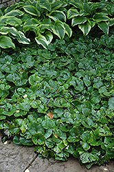 Canadian Wild Ginger (Asarum canadense) at Creekside Home & Garden