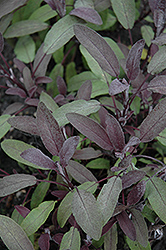 Purple Sage (Salvia officinalis 'Purpurascens') at Creekside Home & Garden