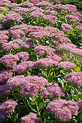 Brilliant Stonecrop (Sedum spectabile 'Brilliant') at Creekside Home & Garden