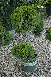 Mint Julep Juniper (pom pom) (Juniperus chinensis 'Mint Julep (pom pom)') at Creekside Home & Garden