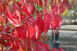 Prairie Radiance Winterberry Euonymus (Euonymus bungeanus 'Verona') at Creekside Home & Garden