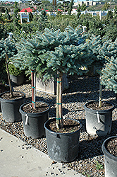 Globe Blue Spruce (tree form) (Picea pungens 'Globosa (tree form)') at Creekside Home & Garden
