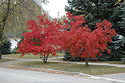 Flame Amur Maple (Acer ginnala 'Flame') at Creekside Home & Garden