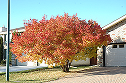 Amur Maple (multi-stem) (Acer ginnala '(multi-stem)') at Creekside Home & Garden