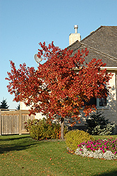 Tatarian Maple (Acer tataricum) at Creekside Home & Garden