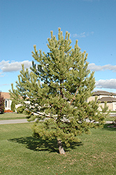 French Blue Scotch Pine (Pinus sylvestris 'French Blue') at Creekside Home & Garden