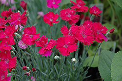 Neon Star Pinks (Dianthus 'Neon Star') at Creekside Home & Garden
