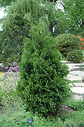 Wansdyke Silver Arborvitae (Thuja occidentalis 'Wansdyke Silver') at Creekside Home & Garden