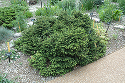 Pumila Norway Spruce (Picea abies 'Pumila') at Creekside Home & Garden