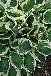 Patriot Hosta (Hosta 'Patriot') at Creekside Home & Garden