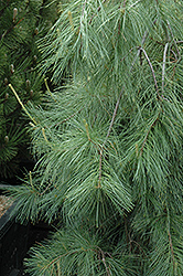 Weeping White Pine (Pinus strobus 'Pendula') at Creekside Home & Garden