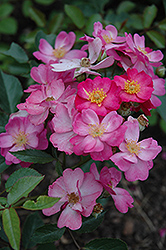 Daydream Rose (Rosa 'Daydream') at Creekside Home & Garden