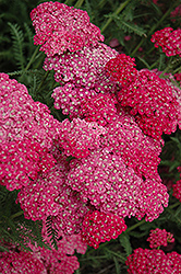 Saucy Seduction Yarrow (Achillea millefolium 'Saucy Seduction') at Creekside Home & Garden