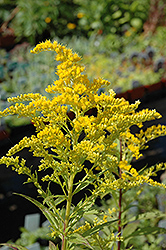 Golden Baby Goldenrod (Solidago canadensis 'Golden Baby') at Creekside Home & Garden
