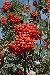 Russian Mountain Ash (Sorbus aucuparia 'Rossica') at Creekside Home & Garden