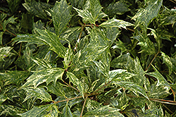 Variegated False Holly (Osmanthus heterophyllus 'Goshiki') at Creekside Home & Garden