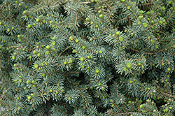 Dwarf Black Spruce (Picea mariana 'Nana') at Creekside Home & Garden