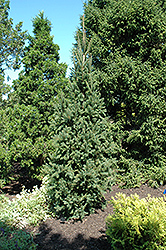 Columnar Norway Spruce (Picea abies 'Cupressina') at Creekside Home & Garden