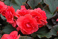 Solenia® Dark Pink Begonia (Begonia 'Solenia Dark Pink') at Creekside Home & Garden